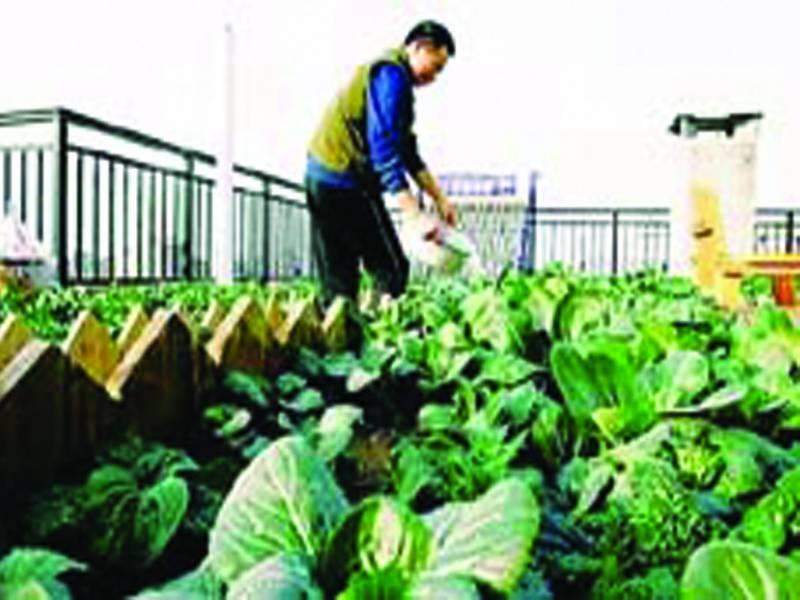 غریب چینی شہری نے اپنے گھر کی چھت کو کھیت بناڈالا