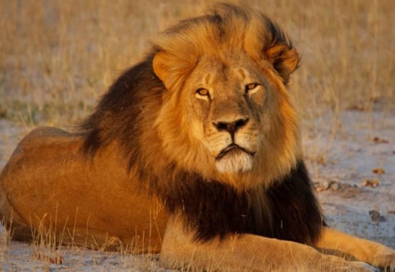 جنوبی افریقہ کے نیشنل پارک میں شیروں نے غیرقانونی شکاری کو کھالیا