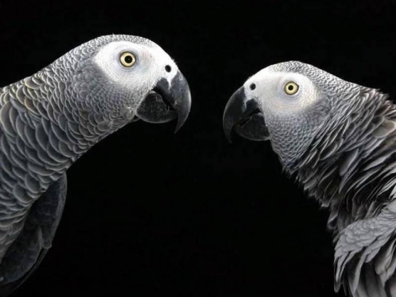 افریقی بھورے طوطے انسانوں کی طرح ایک دوسرے کے مددگار