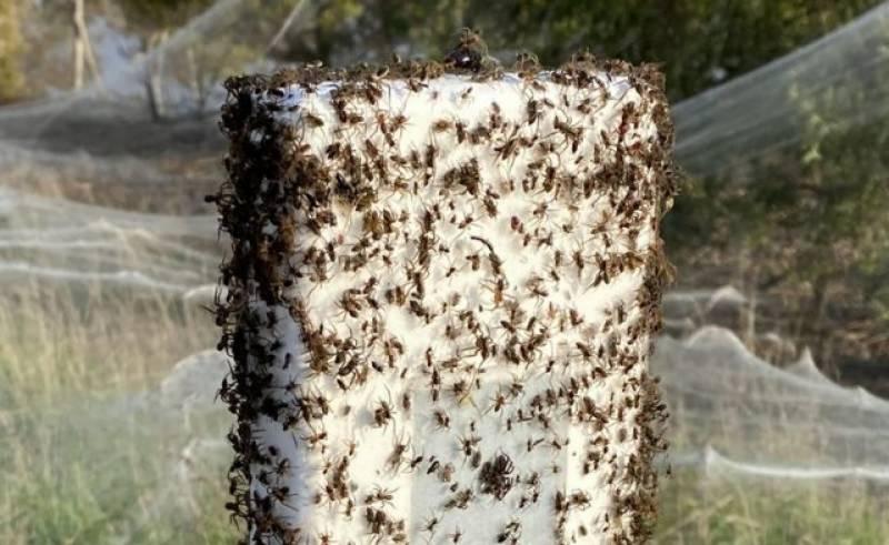 آسٹریلیا، شدید بارشوں کے بعد مکڑیوں نے درختوں پر بڑے پیمانے پر جال بنا لئے