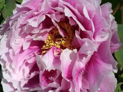 جاپان میں نایابقسم کےایک دیوہیکل پھول کودیکھنے کیلئےسینکڑوں شائقین کی لائنیں لگ گئیں۔