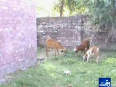 سیالکوٹکے دیہاتی علاقہ پلوڑہ کلاں میںواقع بنیادی مرکزصحت میں علاقہ کے بااثرچوہدریوں کے مویشی بندھے ہیں جبکہلوگوں کوعلاج کیلئے شہر کے ہسپتالوں میںجانا پڑتا ہے ۔