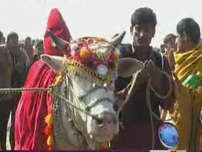 خانیوال میں آل پنجاب بیل گاڑی دوڑ کا منفرد مقابلہ ہوا، جسے چاند نامی بیل نے جیت لیا۔