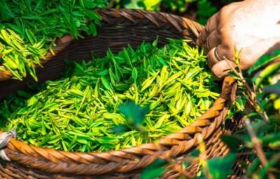 درآمدی چائے میں مضر صحت کیمیکل کی موجودگی کا انکشاف