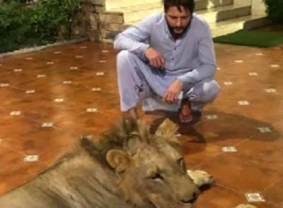 شاہد آفریدی کے گھر شیر رکھنے پر وائلڈ لائف نے انکوائری شروع کردی