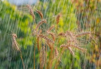 پکی فصلیں اجڑنے کا خدشہ،محکمہ موسمیات نے کاشتکاروں کو خبردار کردیا