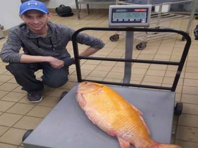 32 پونڈ وزنی اور 3 فٹ لمبی 100 سال کی سنہری مچھلی