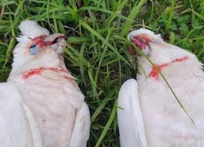 آسٹریلیا ، خون آلود آنکھوں والے درجنوں پرندے زمین پر گرکر ہلاک