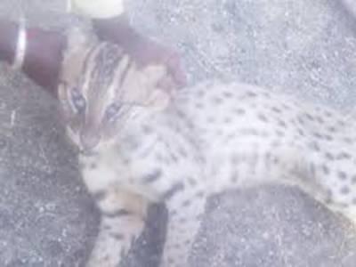 سندھ کے ضلع ٹنڈو محمد خان میں مقامی افراد نے خطرناک جنگلی بلی کو پکڑ لیا