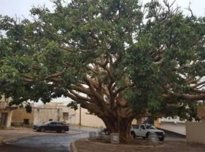 سعودی عرب میں 400سالہ پرانا درخت گر گیا