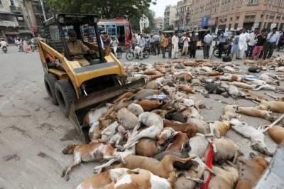 کراچی میں آوارہ کتوں کے خاتمے کی مہم شروع