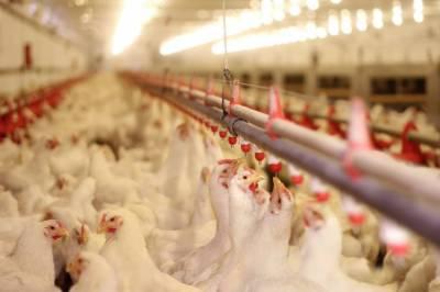 سعودی عرب: برازیل مرغیوں کی 60 فیصد ضرورت مقامی طور پر مہیا کرے گا