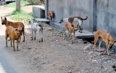 لاڑکانہ میں آوارہ کتوں نے 6 سالہ بچے کو زخمی کر دیا،تشویشناک حالت میں ہسپتال منتقل