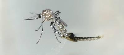 اقوام متحدہ نے ڈینگی اور ملیریا کے خاتمہ کے لئے سٹیرائل انسیکٹ ٹیکنیک متعارف کرا دی