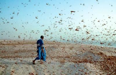 سندھ:ٹڈی دل سے نمٹنے کیلئے کسانوں نے بندوقیں اٹھا لیں