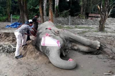 آسام بن لادن نامی جنگلی ہاتھی قید ہونے کے چھ دن بعد مر گیا