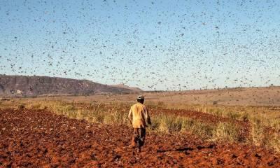 سیہون:ٹڈی دل وزیراعلیٰ کے حلقے سیہون پہنچ گیا، کھیتوں پر حملہ