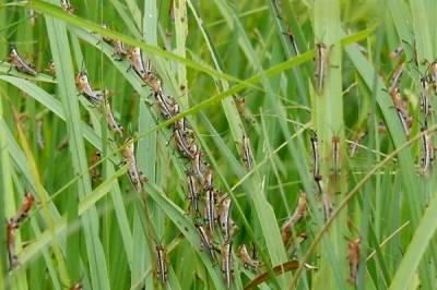 شکارپور:فصلوں کے دشمن ٹڈی دل کی تباہ کاریاں جاری, شکارپور کے کھیتوں پر دھاوا بول دیا