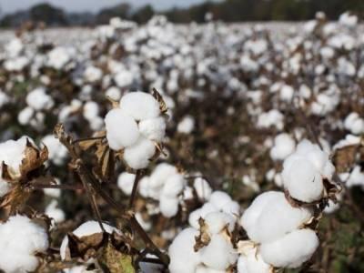 کاشتکار کپاس کی مختلف اقسام کو الگ الگ گوداموں میں ر کھیں تاکہ ریشے اور بیج کی کوالٹی آپس میں مل کر متاثر نہ ہو. ماہرین زراعت
