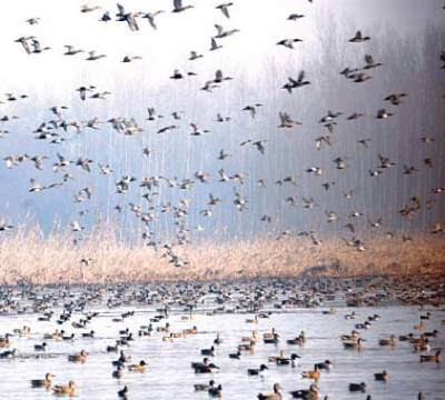سائبیریا سے ہجرت کرنیوالے ہزاروں پرندے منگلا ڈیم اور ہیڈ رسول پہنچ گئے