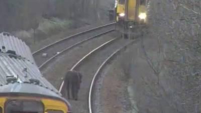 اسکاٹ لینڈ، گائے نے مسافر ٹرین روک دی، محکمہ ریلوے کی معذرت