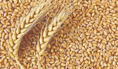 سرکاری گوداموں میں پڑی ہزاروں من گندم خراب ہونے لگی