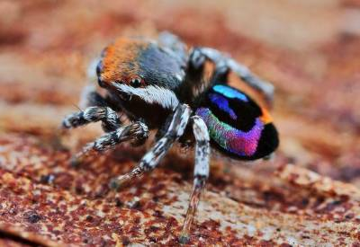 امریکی ماہرین کا دنیا کی خوبصورت ترین مکڑی دریافت کرنے کا دعوی