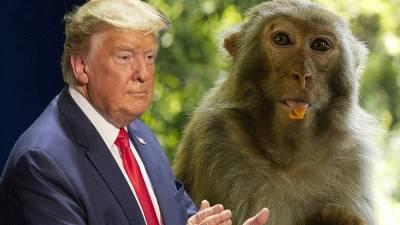 ٹرمپ کو بندروں سے بچانے کےلئے بھارتی پولیس کو غلیلیں تیار کرلی