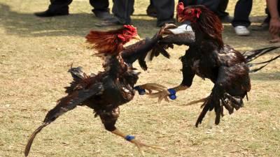 پیرو میں مرغوں کی لڑائی اوربل فائٹنگ کو قانونی قرار دیدیا گیا