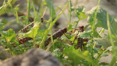 اورکزئی میں ٹڈی دل کا حملہ، فصلوں کو نقصان