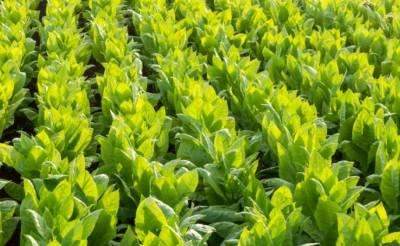 برطانوی کمپنی کا تمباکو تیار کرنے والے پودوں کی مدد سے کورونا ویکسین کی تیاری کا دعویٰ