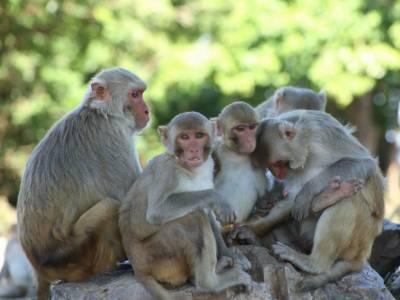 بندروں میں کورونا وائرس کے خلاف قوت مدافعت پائی جاتی ہے، امریکی تحقیق