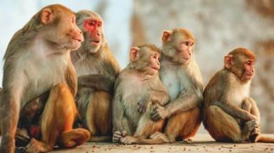 بھارت میں بندروں کا لیبارٹری اسسٹنٹ پر حملہ ، کورونا ٹیسٹ کِٹس لے کر فرار
