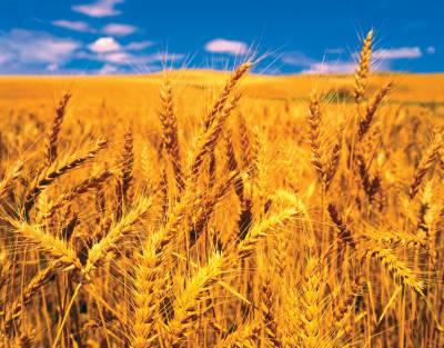 جرمنی کی گندم کی پیداوار میں 3.7 فیصد کمی کا امکان