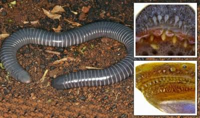برازیل میں سانپ جیسے زہریلے دانتوں والا انوکھا جاندار دریافت