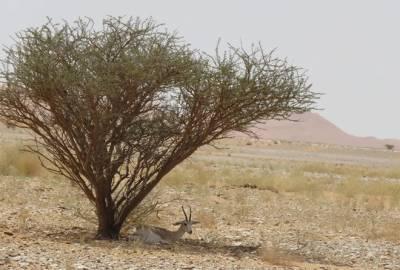سعودی عرب، صحرا میں دنیا کا سب سے بڑا قومی جنگل