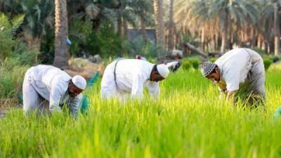 سعودی عرب میں دنیا کے مہنگے ترین چاول کی کاشت کاری کے تصویری مناظر