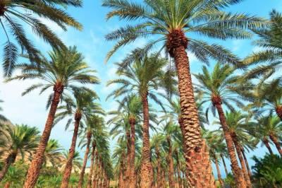 سعودی عرب ، کھجور کے درختوں کا دنیا کا سب سے بڑا باغ گینز بک میں شامل