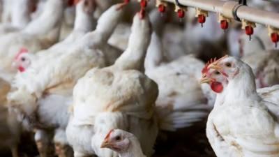 شہر میں برائلر گوشت اورزندہ برائلر مرغی کی قیمت میں اضافہ، فارمی انڈوں کی قیمت مستحکم رہی