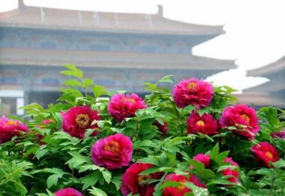 چین کے متعدد علاقوں میں درجہ حرارت بڑھنے پر پھول کھِل گئے