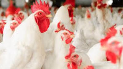 برائلر گوشت ، زندہ برائلر مرغی اور فارمی انڈوں کی قیمت میں اضافہ