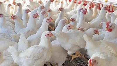 برائلر گوشت اور زندہ برائلر مرغی کی قیمت میں کمی ،فارمی انڈوں کی قیمت میں اضافہ