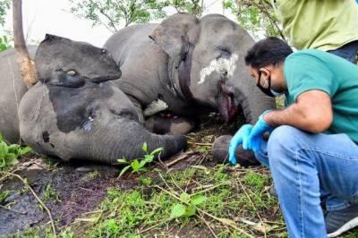 بھارتی ریاست آسام میں آسمانی بجلی' گرنے سے 18 جنگلی ہاتھی ہلاک