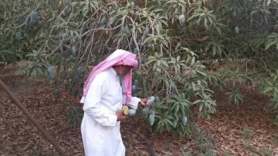 آموں کے درختوں سے پرانا عشق سعودی شہری کو کاشت کے میدان میں لے آیا