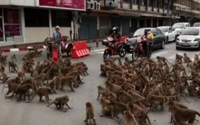 تھائی لینڈ: بندروں کی گینگ وار، ویڈیو وائرل