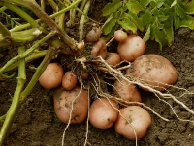 محکمہ زراعت کی آلو کے کاشتکاروں کو ہدایت