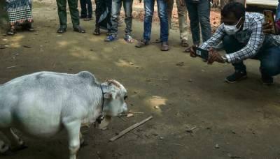 دنیا کی بونی ترین گائے ''رانی'' چل بسی
