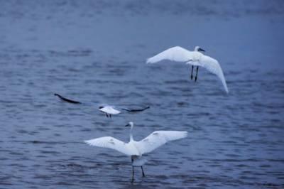 چین ، پویانگ جھیل میں سرمائی پرندوں کا پہلا گروپ پہنچ گیا