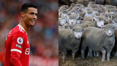 بھیڑوں نے رونالڈو کو گھر چھوڑنے پر مجبور کر دیا