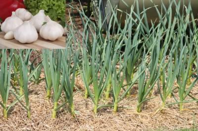لہسن کے کاشتکار فصل کی کاشت 30 ستمبر تک مکمل کر لیں ،محکمہ زراعت کی ہدایت
